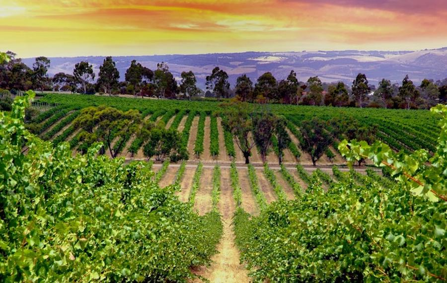 Next Crop Wines in McLaren Vale 3